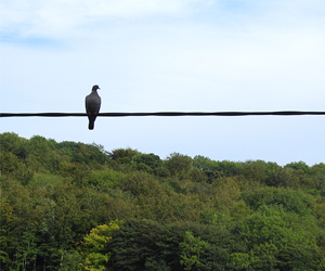 Pidgeon on wire